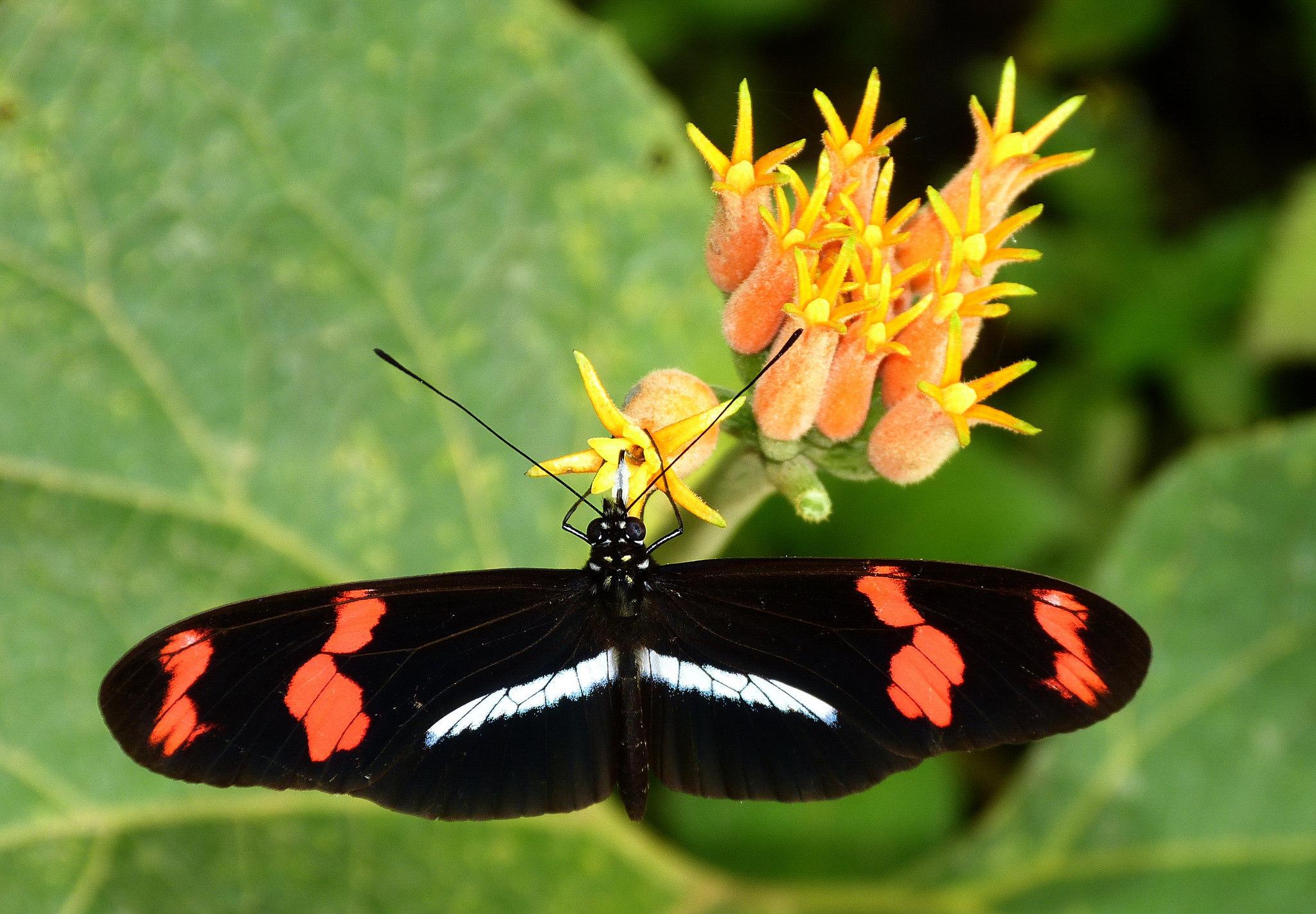 Papillon Heliconius telesiphe Pérou