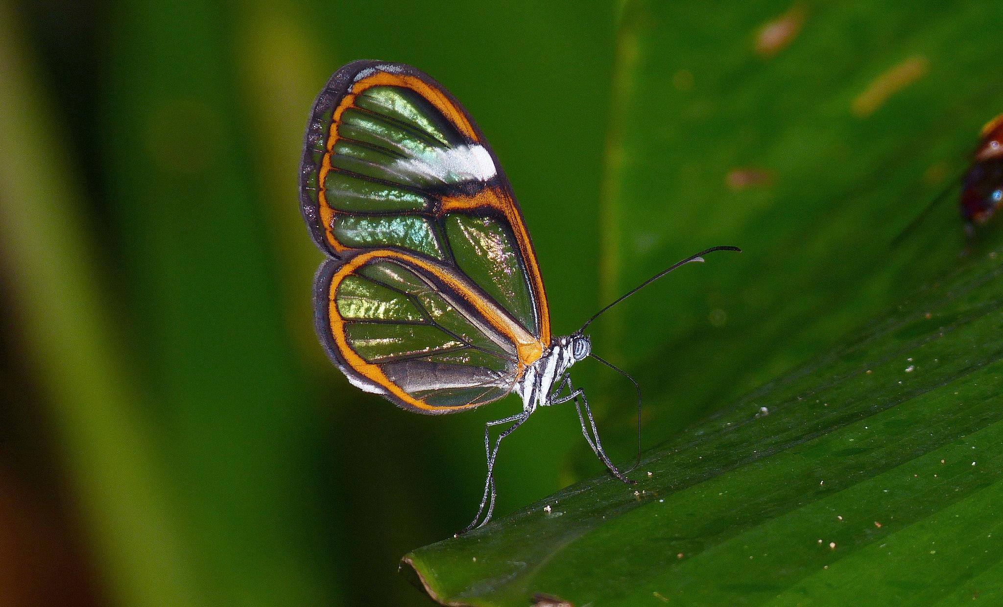 Papillon - Pérou Pseudoscada timna
