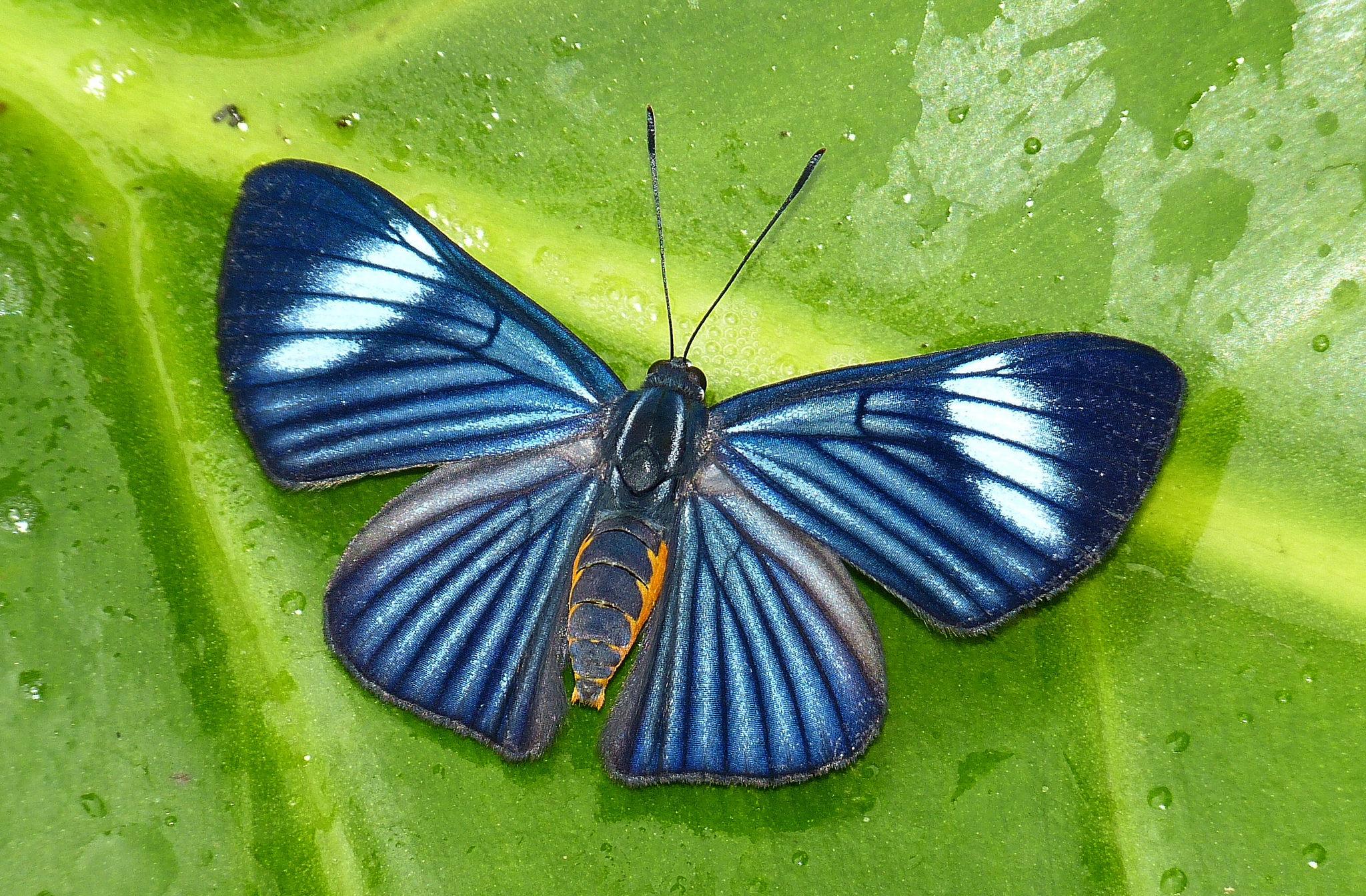 Papillon du Pérou