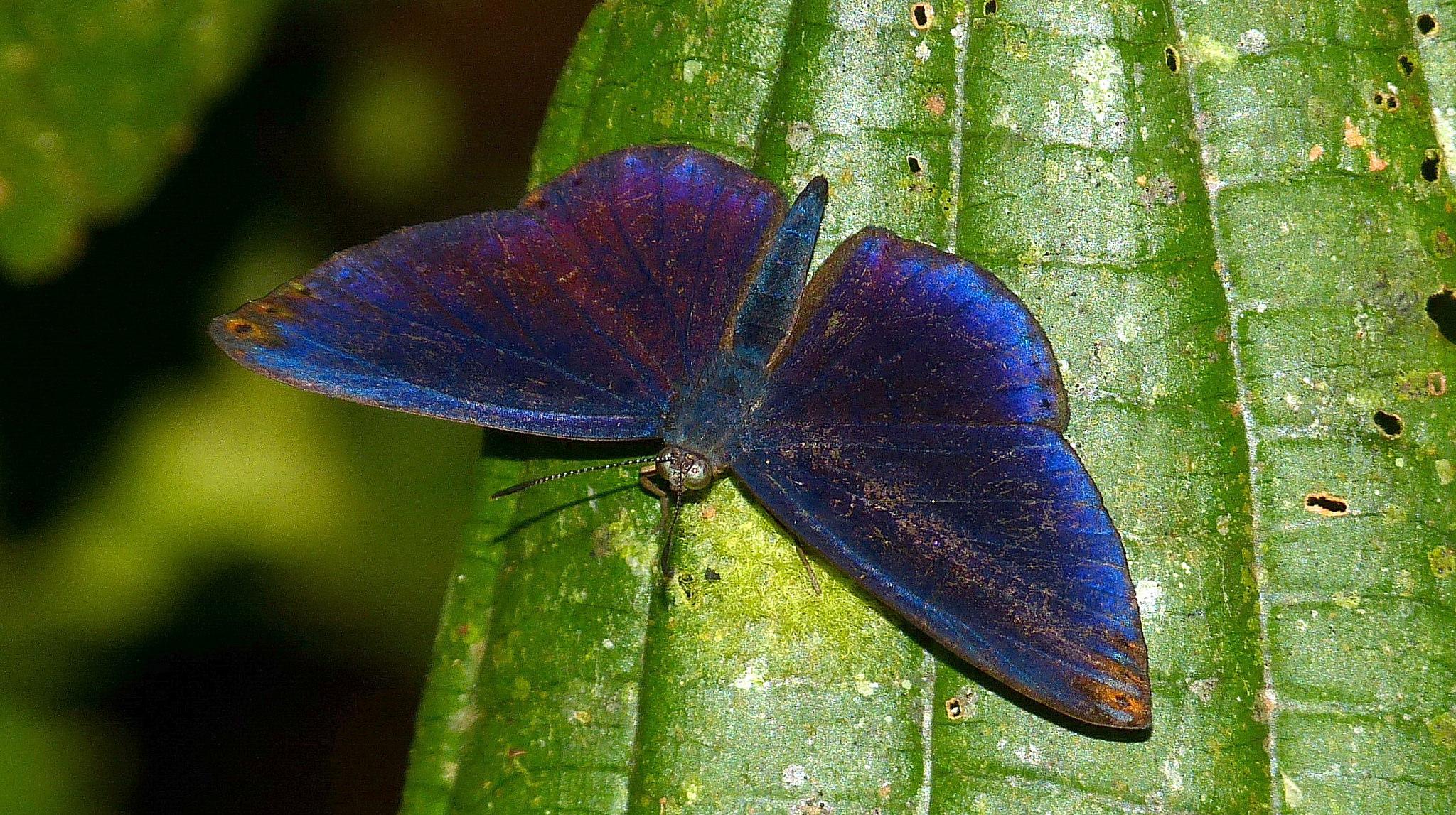 Papillon péruvien Metacharis regalis